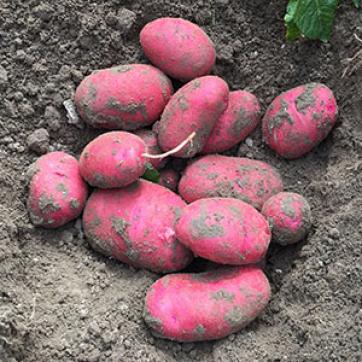 Насіннєва картопля Торнадо 20 кг (Голландія)